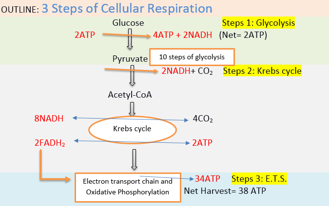 3 Steps Of Cellular Respiration Microbial Facts