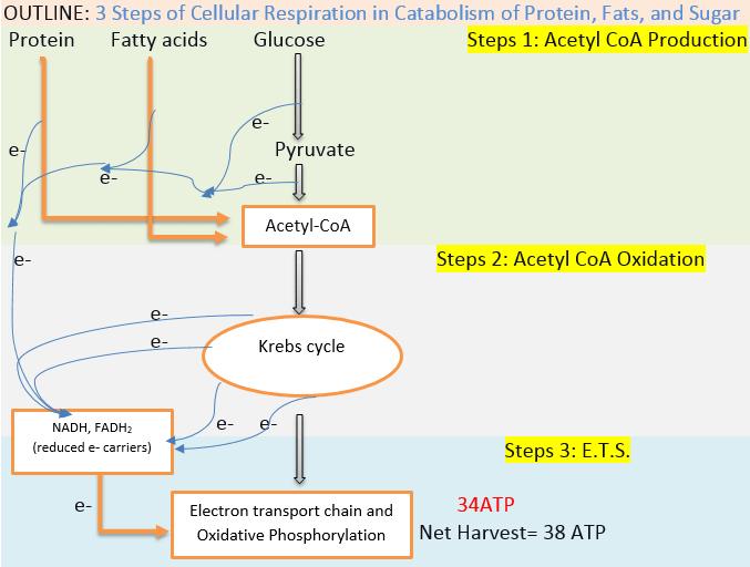3 Steps of Cellular Respiration 2