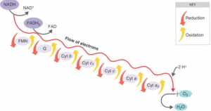 steps of electron transport chain or oxidative phosphorylation